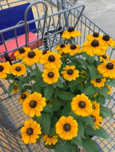 Daisys in Cart Pic